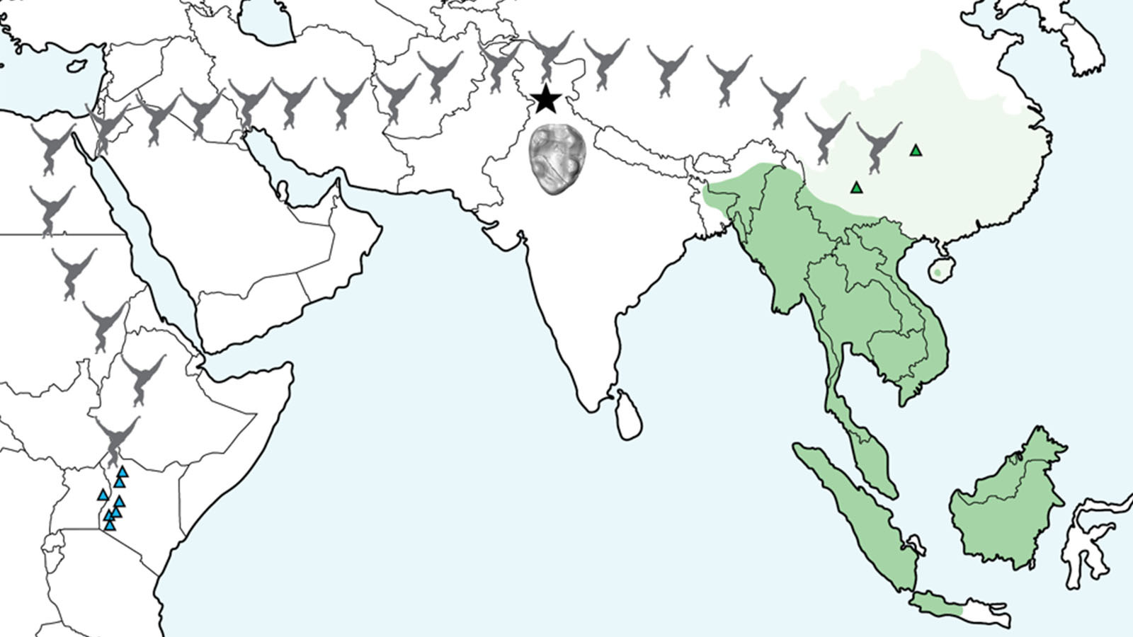 Map illustrating the location of Kapi (black star) relative to modern (dark green) and historical (light green) populations of lesser apes and the approximate distribution of early fossil apes in East Africa (blue triangles). Green triangles mark the location of previously discovered fossil gibbons.  The new fossil is millions of years older than any previously known fossil gibbon and highlights their migration from Africa to Asia.  Illustration by Luci Betti-Nash.